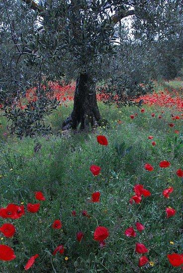 olivier et coquelicot de la sierra de guara